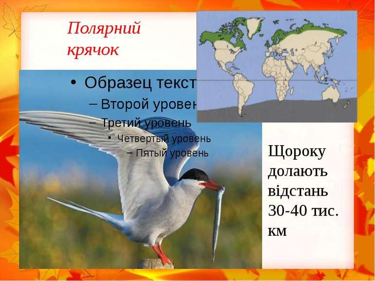 Полярний крячок Щороку долають відстань 30-40 тис. км