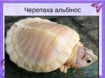 Черепаха альбінос