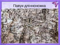 Павук-длінноножка