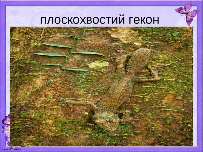 плоскохвостий гекон