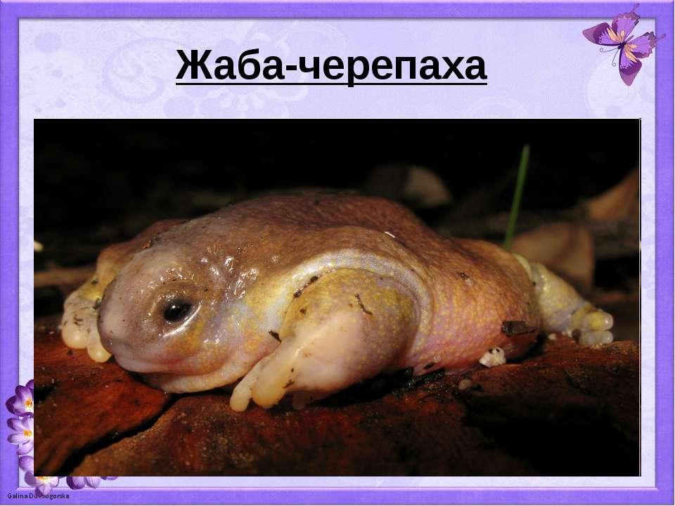 Жаба-черепаха