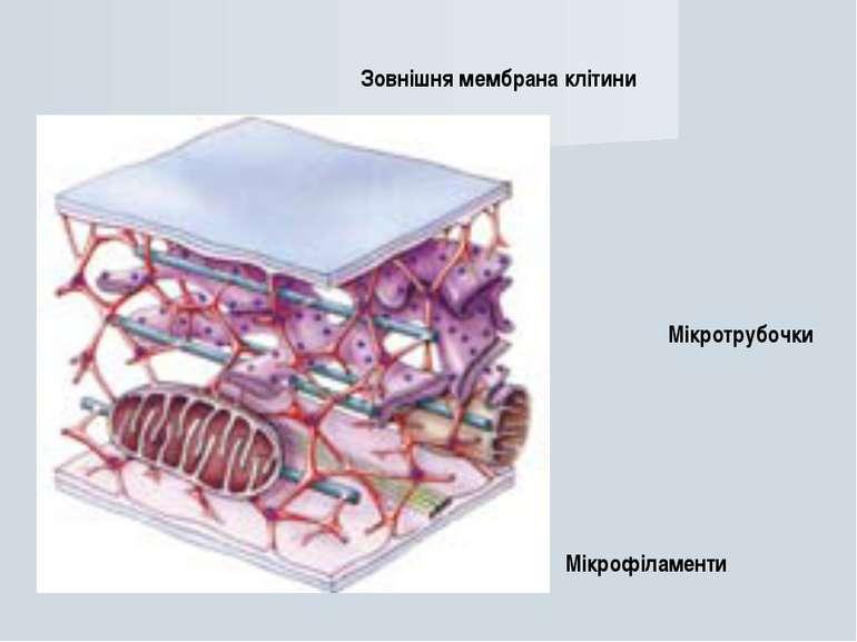 Зовнішня мембрана клітини Мікротрубочки Мікрофіламенти