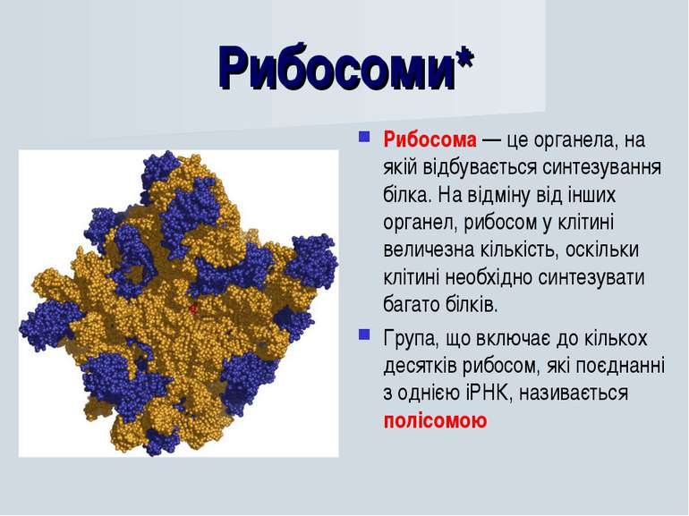Рибосоми* Рибосома — це органела, на якій відбувається синтезування білка. На...