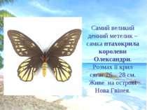 Самий великий денний метелик – самка птахокрила королеви Олександри. Розмах ї...