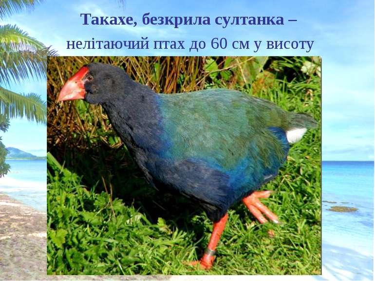 Такахе, безкрила султанка – нелітаючий птах до 60 см у висоту