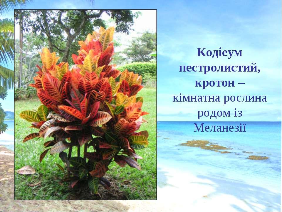 Кодіеум пестролистий, кротон – кімнатна рослина родом із Меланезії