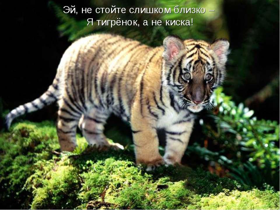 Эй, не стойте слишком близко – Я тигрёнок, а не киска!