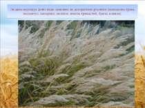 Людина вирощує деякі види злакових як декоративні рослини (пампасова трава, м...