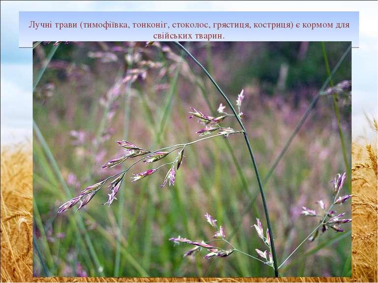 Лучні трави (тимофіївка, тонконіг, стоколос, грястиця, костриця) є кормом для...
