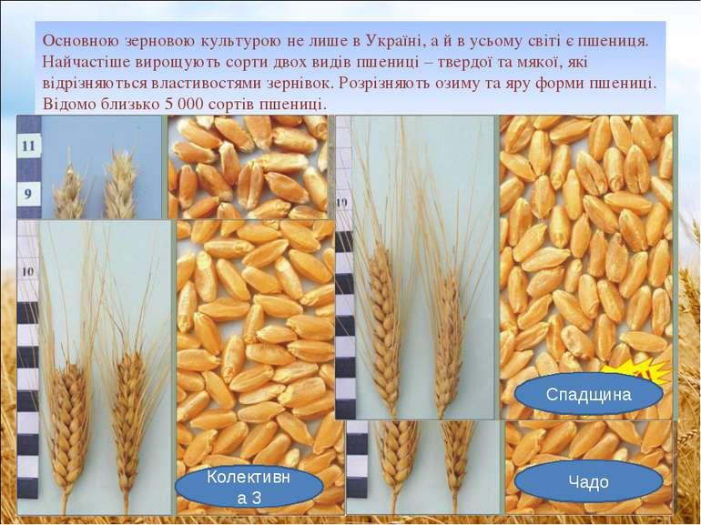 Основною зерновою культурою не лише в Україні, а й в усьому світі є пшениця. ...