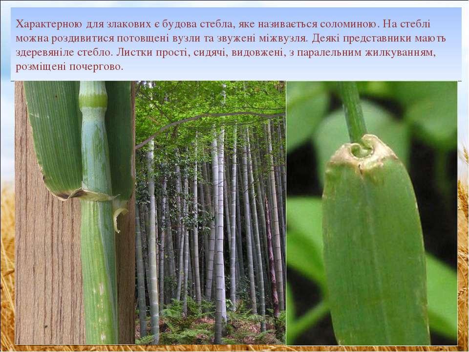 Характерною для злакових є будова стебла, яке називається соломиною. На стебл...