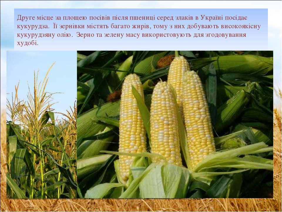Друге місце за площею посівів після пшениці серед злаків в Україні посідає ку...