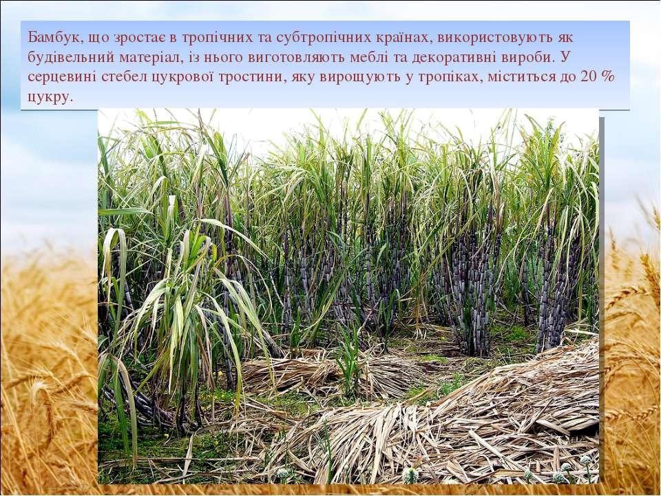 Бамбук, що зростає в тропічних та субтропічних країнах, використовують як буд...