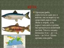 Прохідна риба, нереститься один раз в життю, після нересту на зворотній дороз...