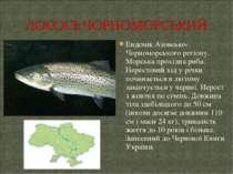 Ендемік Азовсько-Чорноморського регіону. Морська прохідна риба. Нерестовий хі...