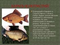 Поширений в Середній та Східній Європі, а також в Сибірі. Карась золотистий ж...