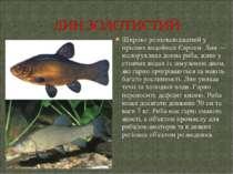Широко розповсюджений у прісних водоймах Європи. Лин— малорухлива донна риба...