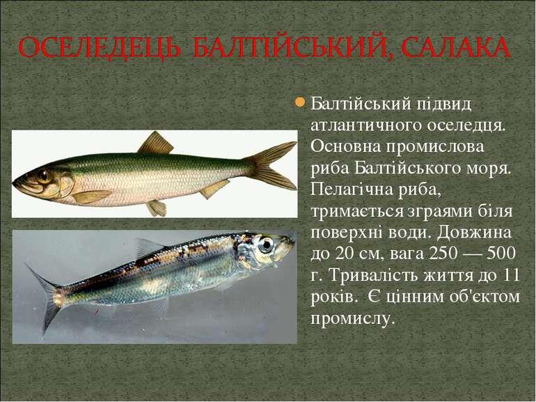 Балтійський підвид атлантичного оселедця. Основна промислова риба Балтійськог...