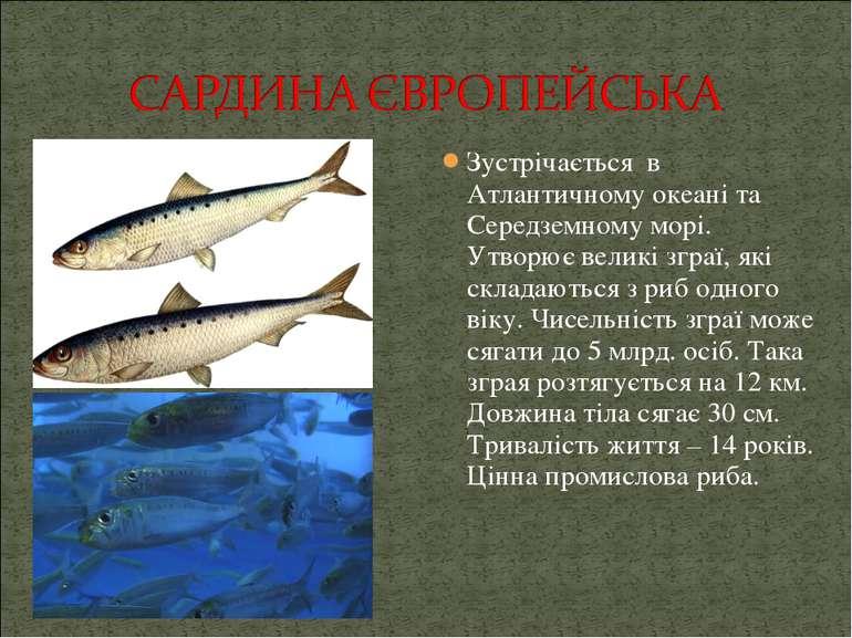 Зустрічається в Атлантичному океані та Середземному морі. Утворює великі згра...