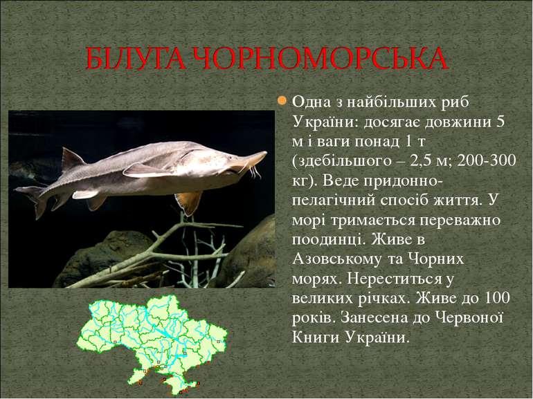 Одна з найбільших риб України: досягає довжини 5 м і ваги понад 1 т (здебільш...