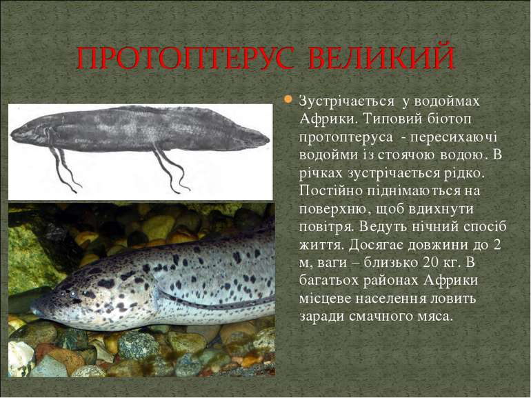 Зустрічається у водоймах Африки. Типовий біотоп протоптеруса - пересихаючі во...