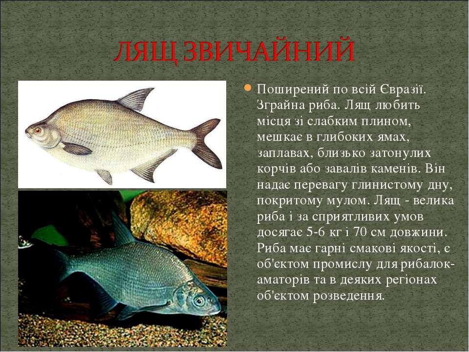 Поширений по всій Євразії. Зграйна риба. Лящ любить місця зі слабким плином, ...