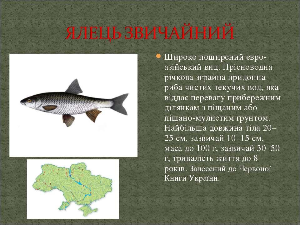 Широко поширений євро-азійський вид. Прісноводна річкова зграйна придонна риб...