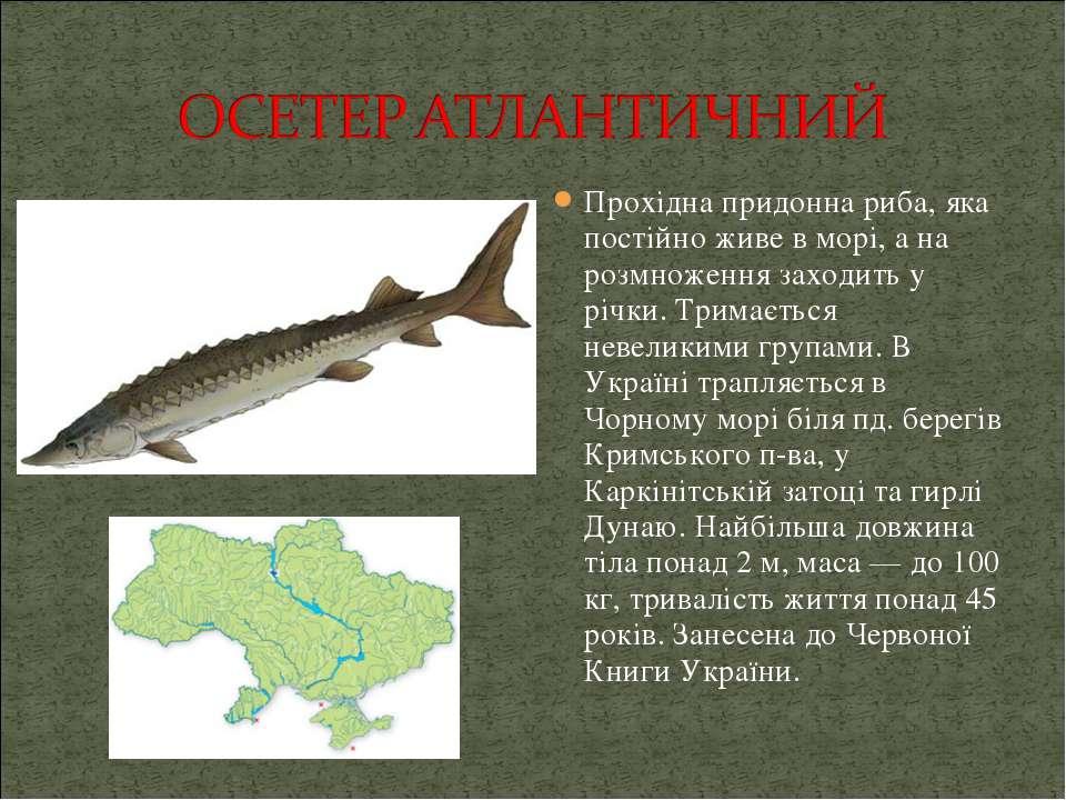 Прохідна придонна риба, яка постійно живе в морі, а на розмноження заходить у...