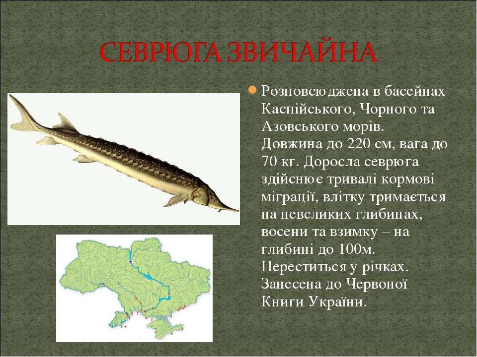 Розповсюджена в басейнах Каспійського, Чорного та Азовського морів. Довжина д...