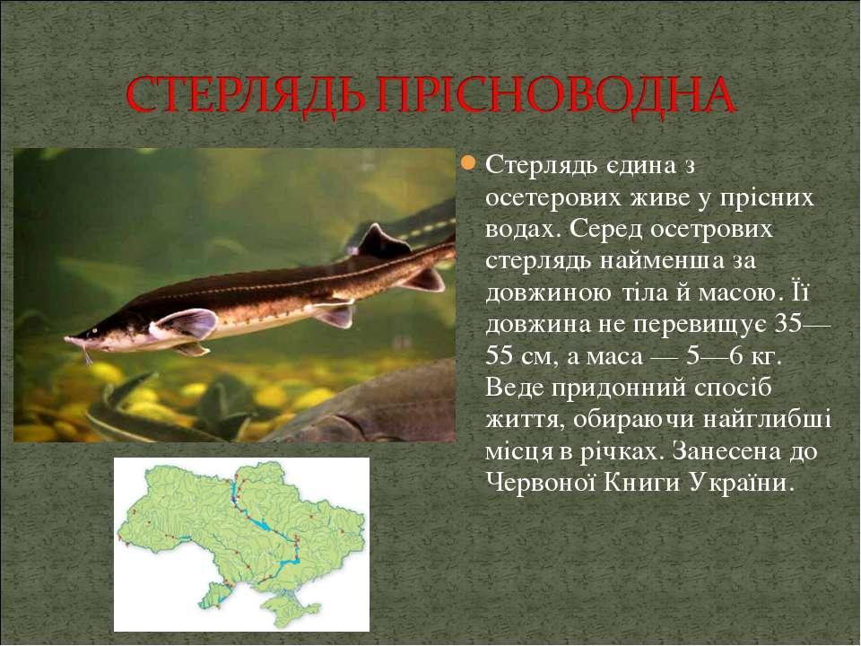 Стерлядь єдина з осетерових живе у прісних водах. Серед осетрових стерлядь на...