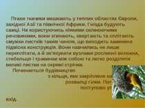 Птахи ткачики мешкають у теплих областях Європи, західної Азії та північної А...