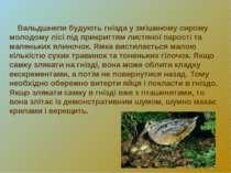 Вальдшнепи будують гнізда у змішаному сирому молодому лісі під прикриттям лис...