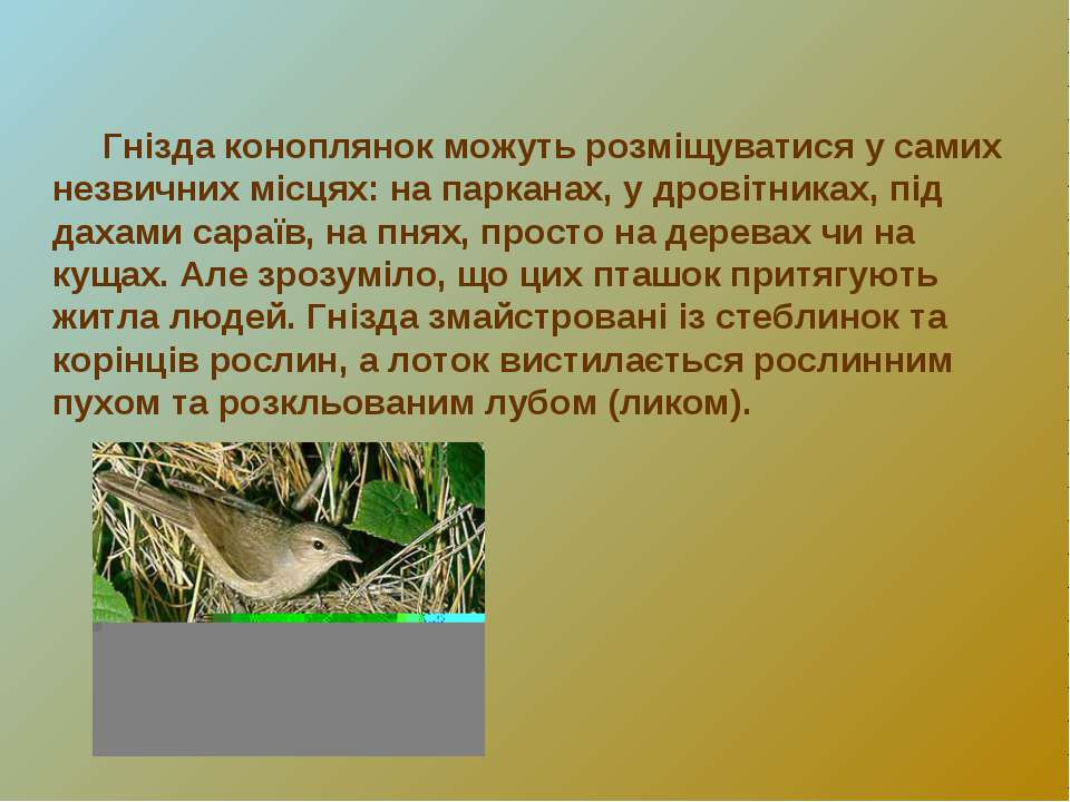 Гнізда коноплянок можуть розміщуватися у самих незвичних місцях: на парканах,...