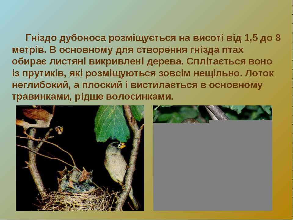 Гніздо дубоноса розміщується на висоті від 1,5 до 8 метрів. В основному для с...