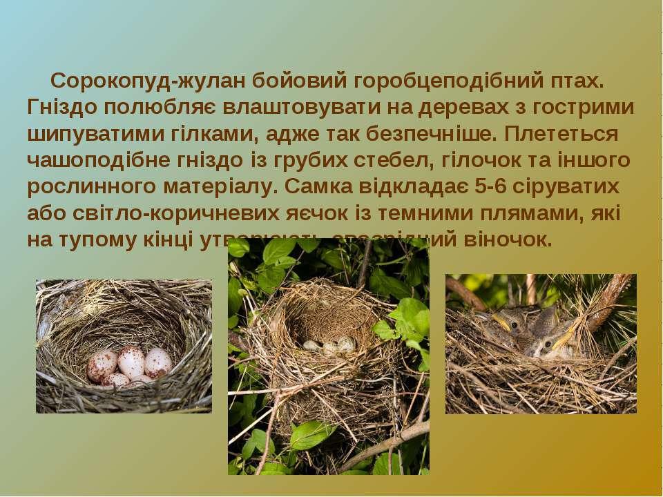 Сорокопуд-жулан бойовий горобцеподібний птах. Гніздо полюбляє влаштовувати на...