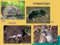 Комахоїдні Кріт Хохуля Білозубка Їжак
