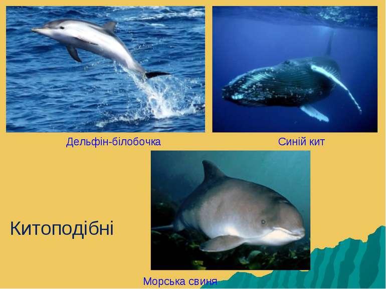 Дельфін-білобочка Синій кит Морська свиня Китоподібні
