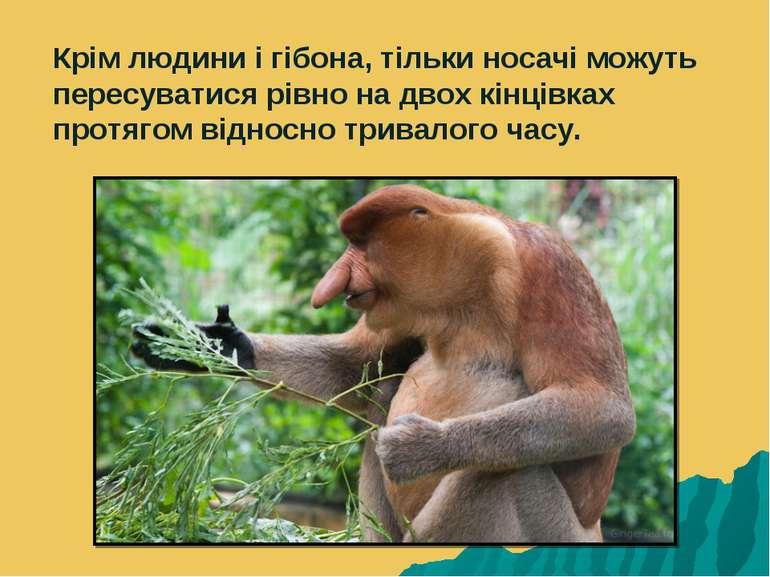 Крім людини і гібона, тільки носачі можуть пересуватися рівно на двох кінцівк...