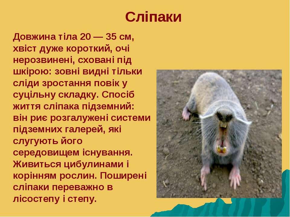 Сліпаки Довжина тіла 20 — 35 см, хвіст дуже короткий, очі нерозвинені, схован...