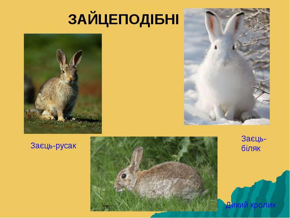 ЗАЙЦЕПОДІБНІ Заєць-біляк Заєць-русак Дикий кролик