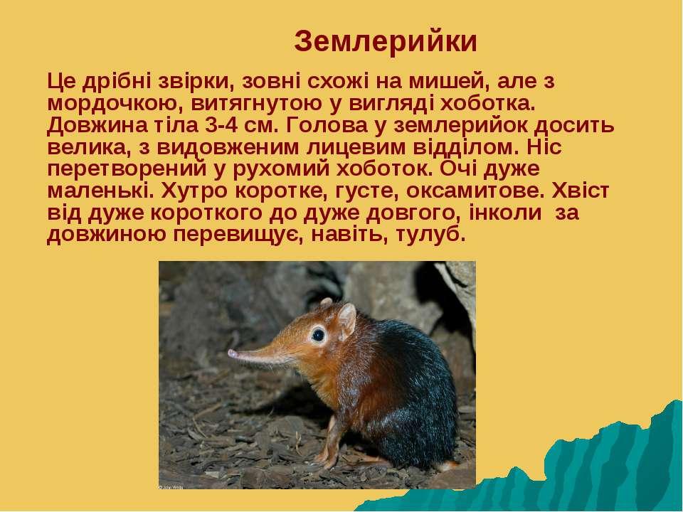 Землерийки Це дрібні звірки, зовні схожі на мишей, але з мордочкою, витягнуто...