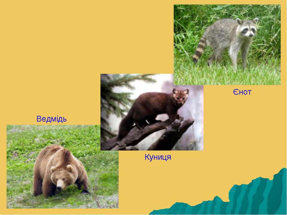 Ведмідь Куниця Єнот