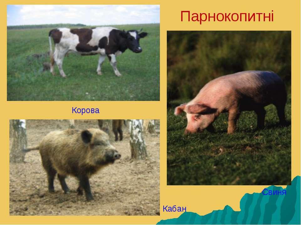 Парнокопитні Корова Кабан Свиня