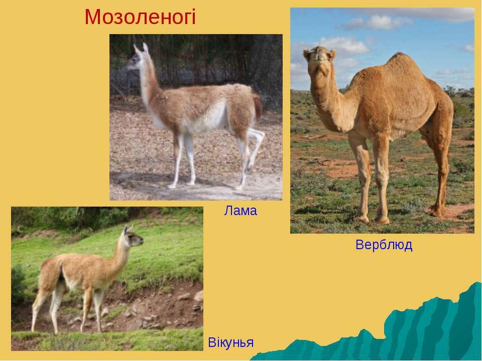 Мозоленогі Лама Верблюд Вікунья