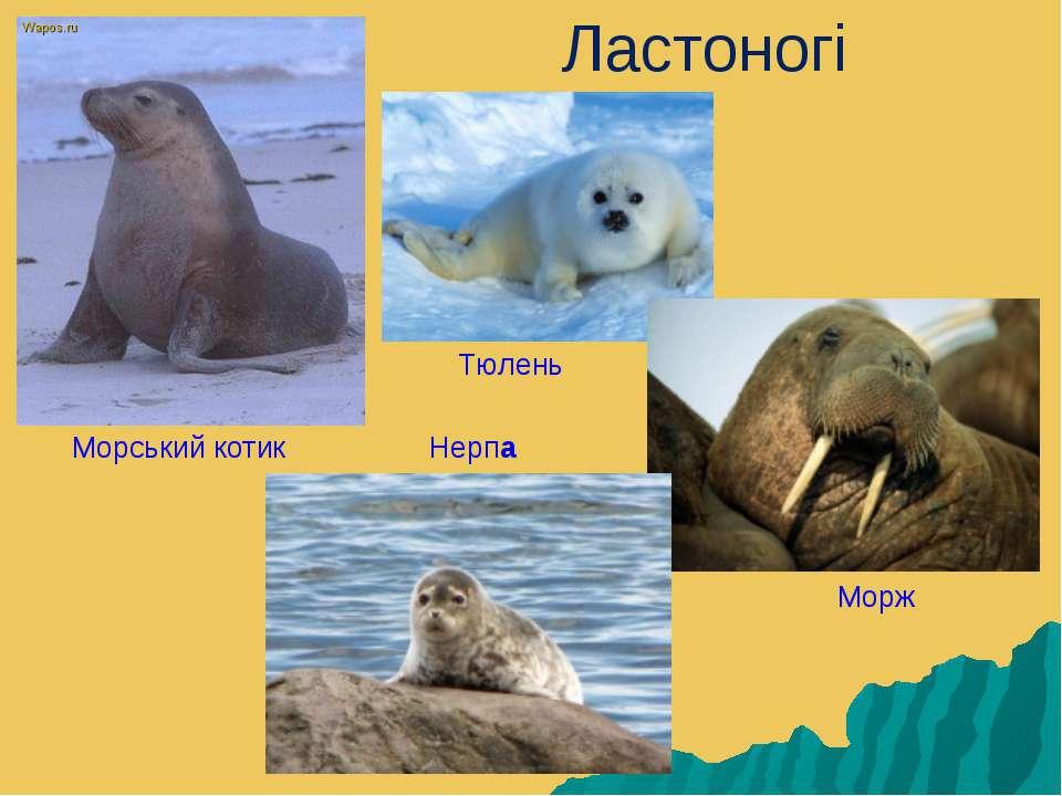 Ластоногі Морський котик Тюлень Морж Нерпа