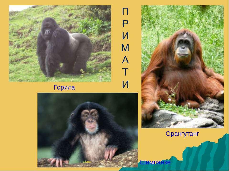 П Р И М А Т И Горила Орангутанг Шимпанзе