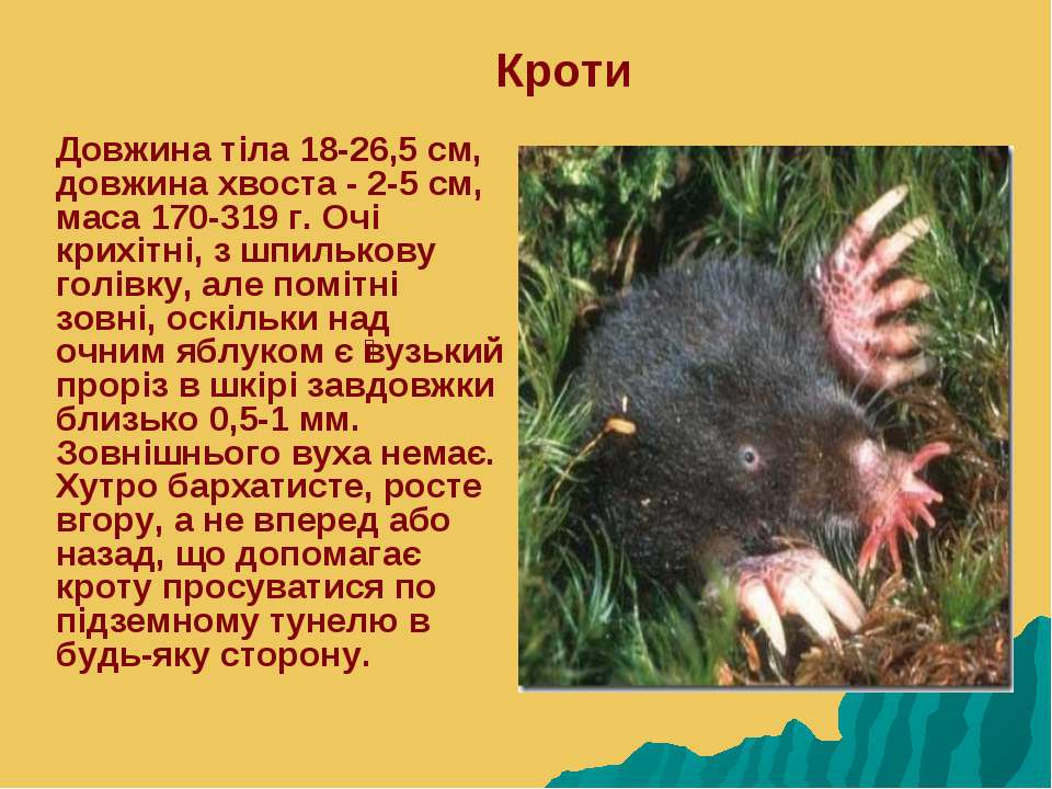 Кроти Довжина тіла 18-26,5 см, довжина хвоста - 2-5 см, маса 170-319 г. Очі к...
