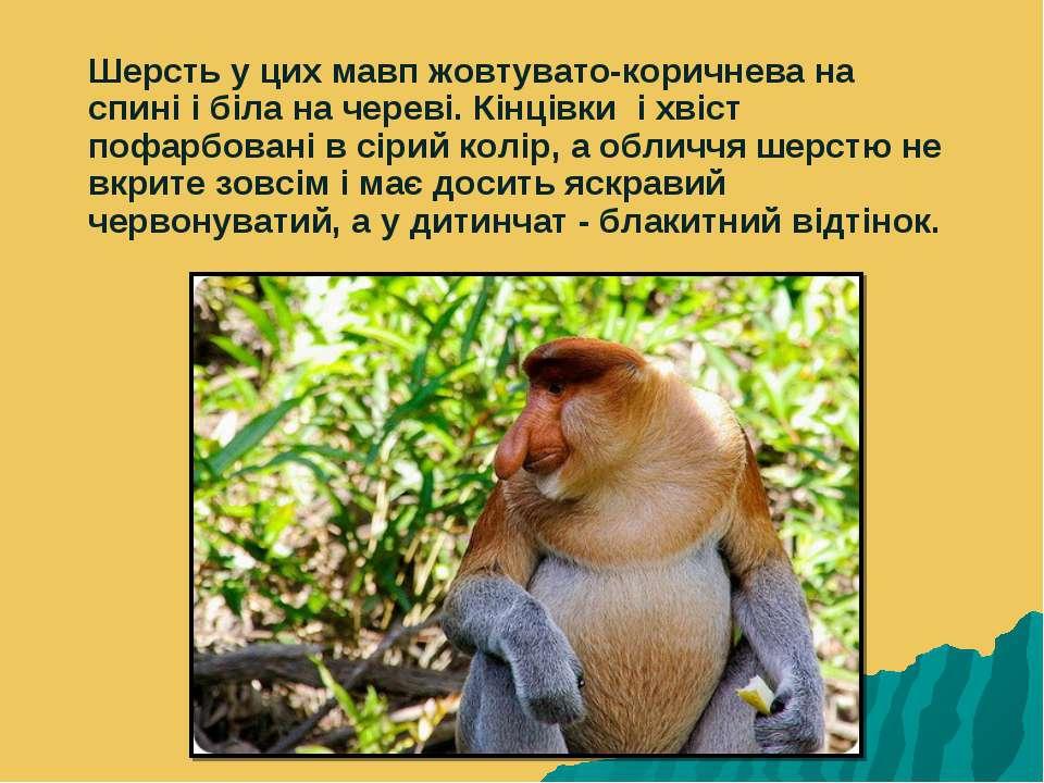 Шерсть у цих мавп жовтувато-коричнева на спині і біла на череві. Кінцівки і х...