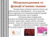 Місцезнаходження та функції м'язових тканин Посмугована утворює скелетні м'яз...