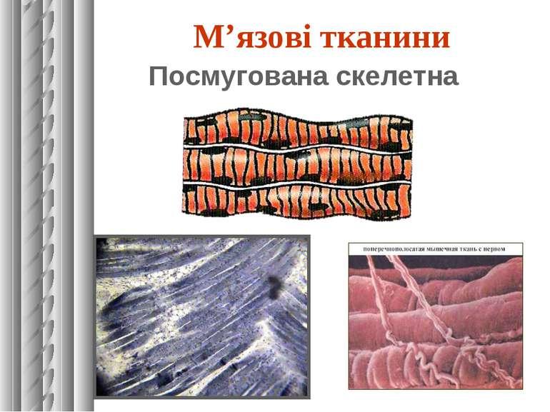 М'язові тканини Посмугована скелетна